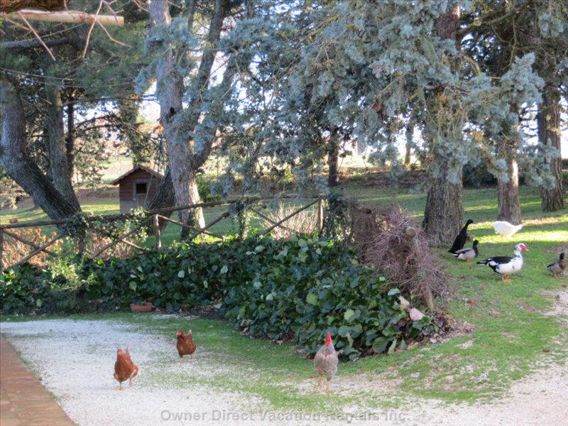Hens Strolling along the Farmyard
