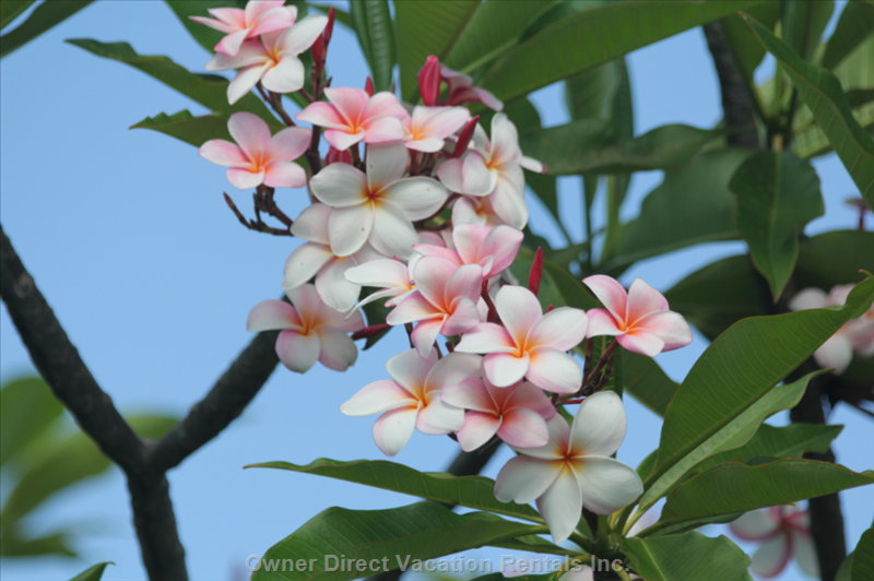 Maui has Beautiful Different Color Plumerias all over the Island!