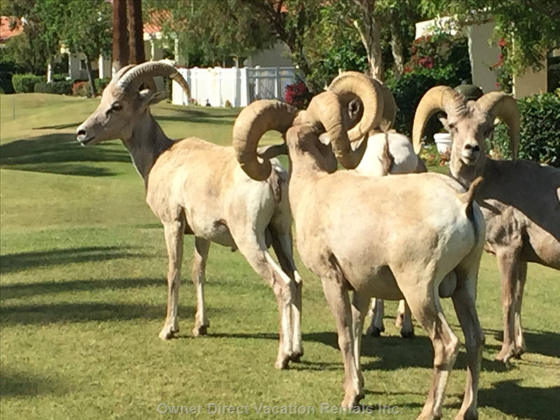 It's Not Unusual to Have the Big Horned Sheep Pay a Visit Right out the Back Sliding Door.