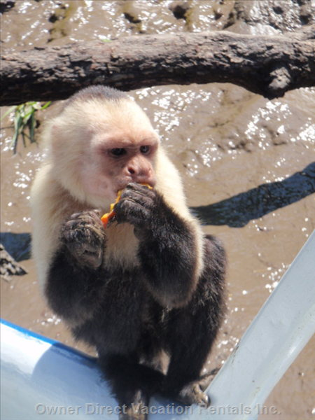 Whiteface Monkey on our Boat
