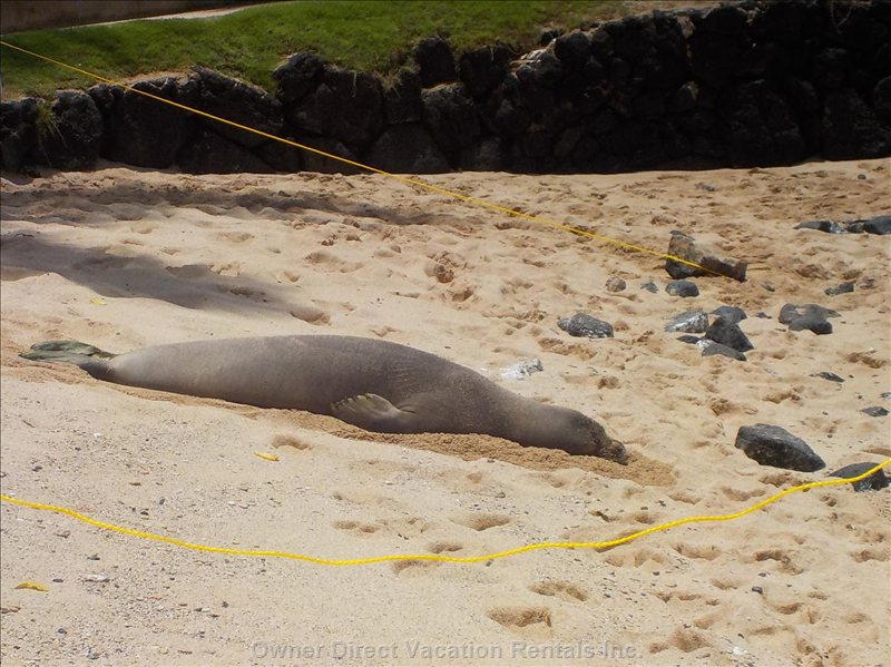 Endangered Monk Seal Regularly Come up on the Beaches.