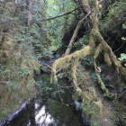 Creek in Old Growth Forest