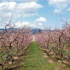 The Road to Prades Goes through Endless Orchards
