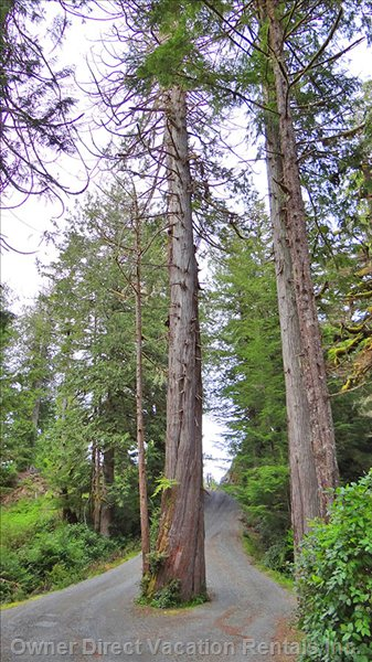 Driveway with Two Giant Old Trees; at Least 150' Tall and one is Almost 800 Years Old
