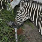Visiting Zebra Having a Drink from the Bird Bath.