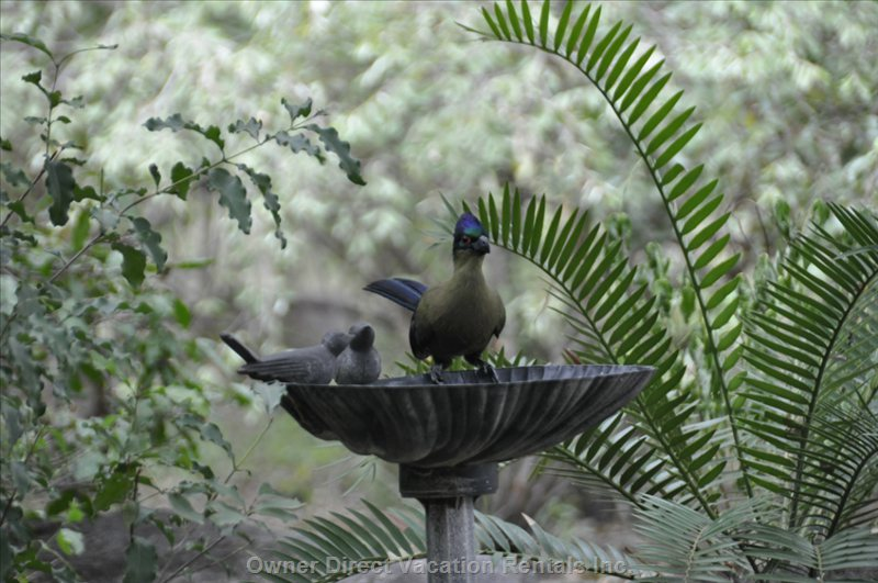 Purple Crested Turaco at Bird Bath.