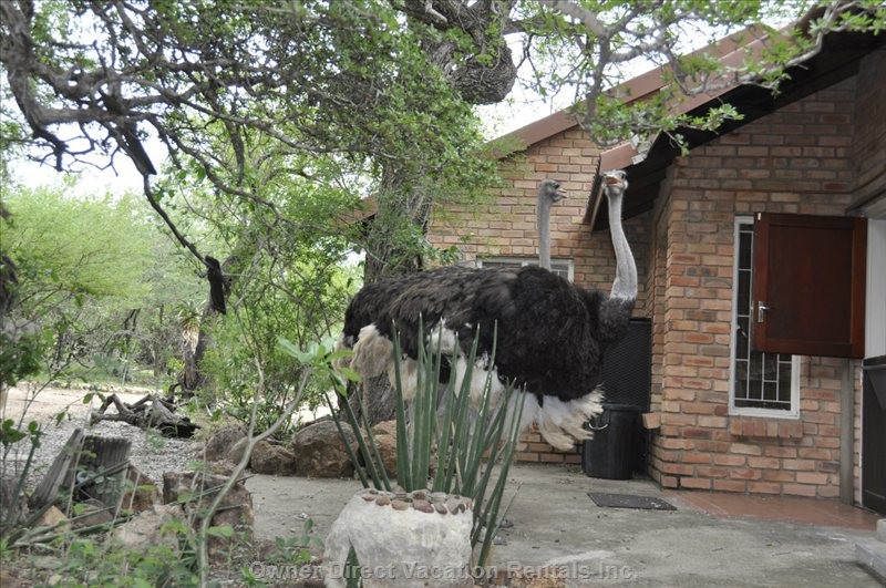 Ostrich Comes for a Rare Visit