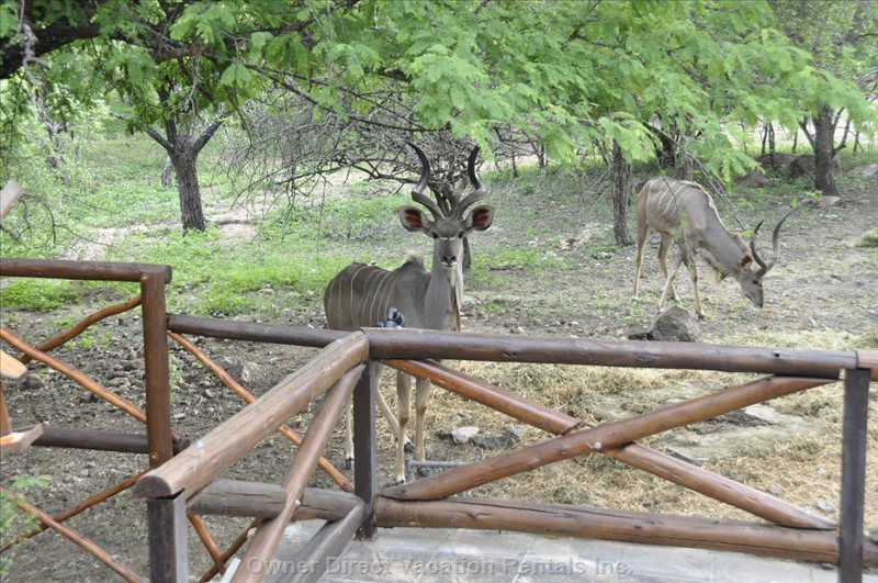 Kudu Coming for Daily Visit