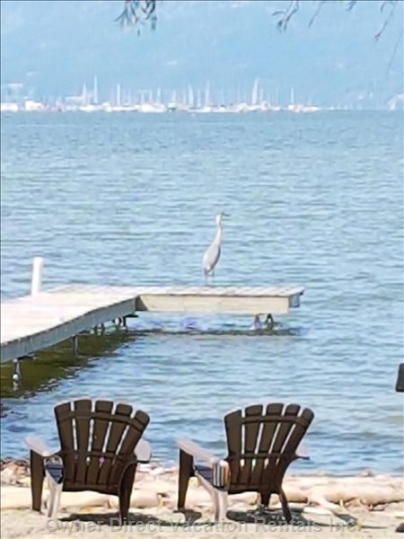 Blue Heron Comes to Visit.  Be Quiet Or you Might Scare him Away.....